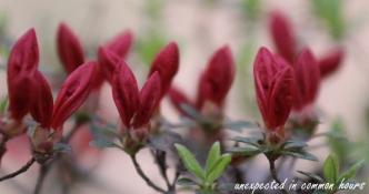 Budding azaleas