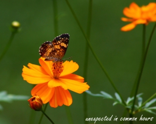 Butterfly on cosmos #2