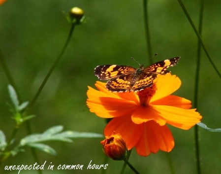 Butterfly on cosmos #4