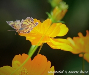 Butterfly on cosmos #5