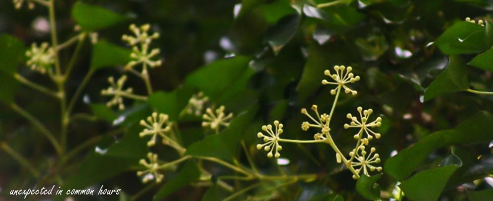 Ivy blooms #1