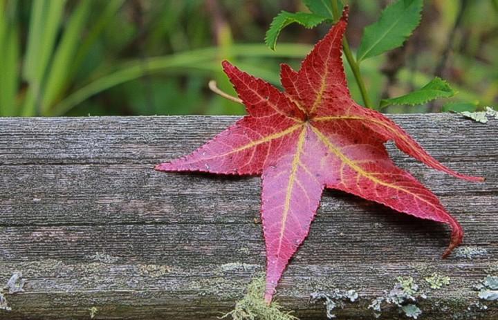 cropped-sweetgum-leaf3.jpg