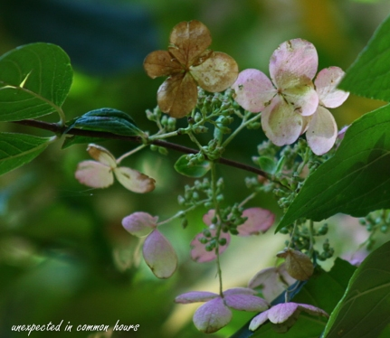 Wild hydrangea