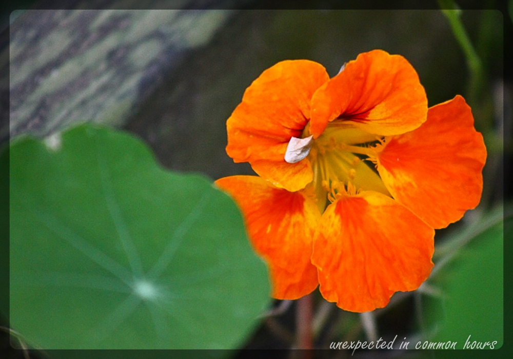 Nasturtium with border
