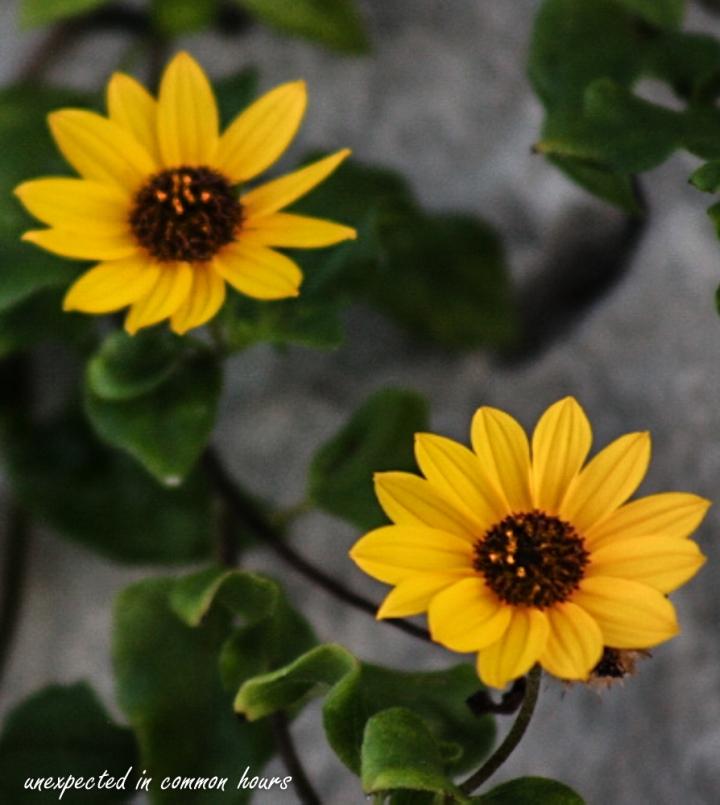 Beach Dune Sunflower