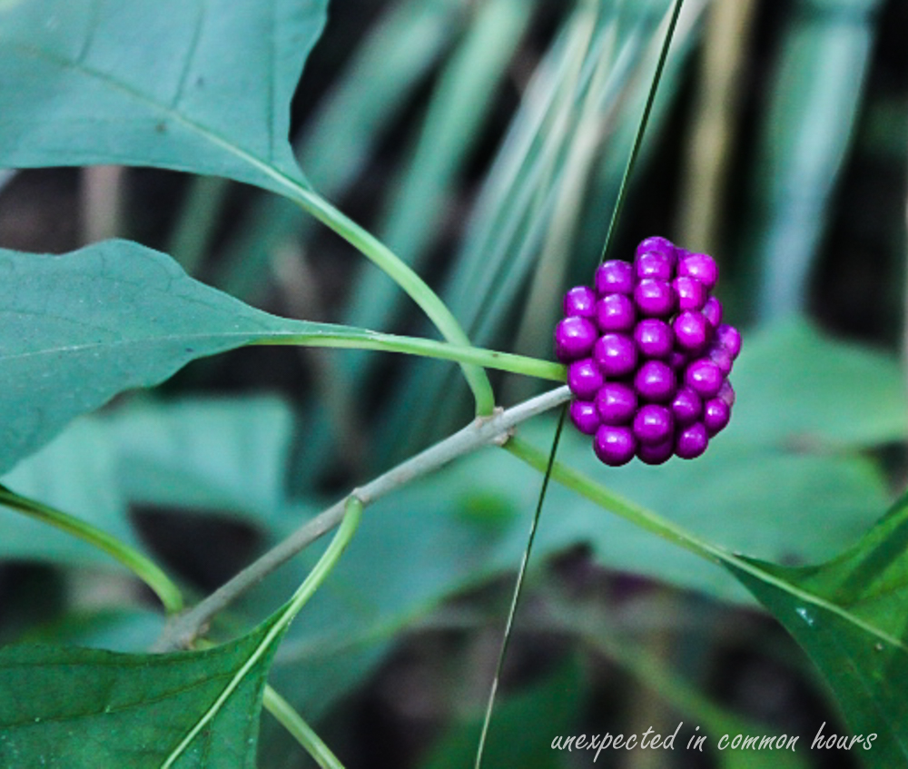 Beautyberry 3