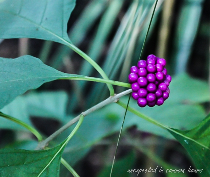 Beautyberry 3