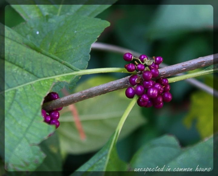 Beautyberry with border