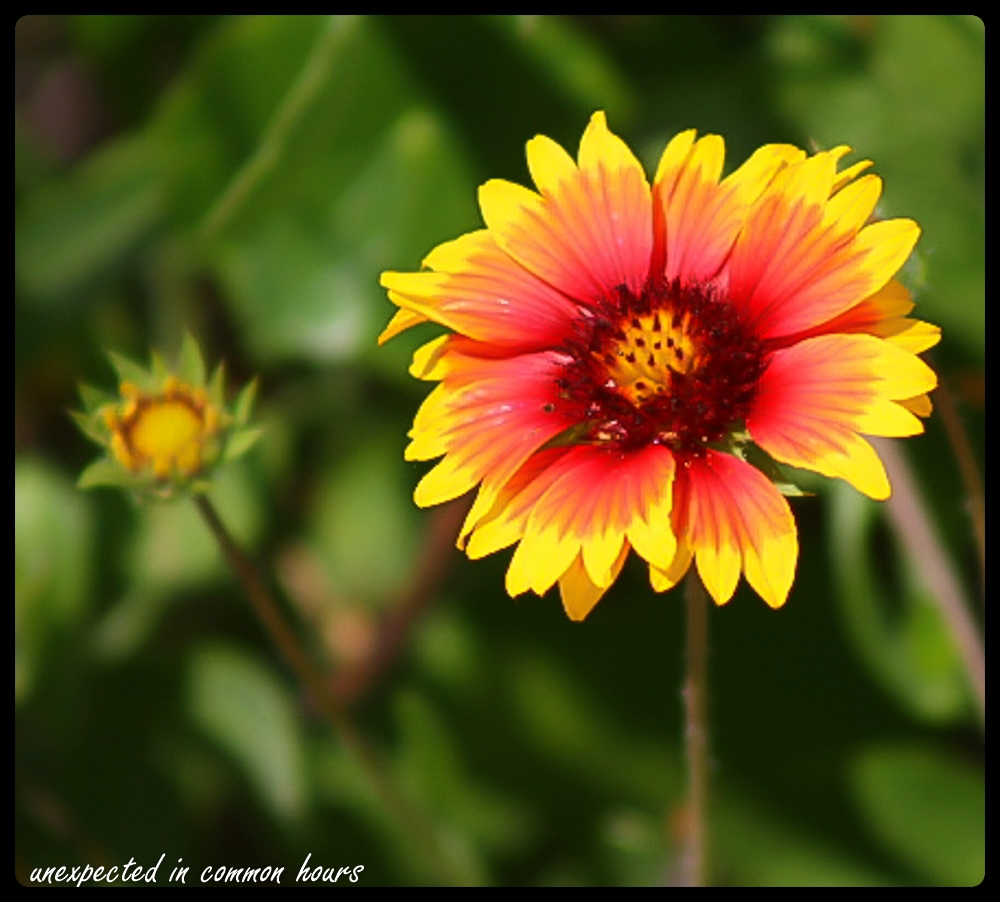 Blanket flower with border