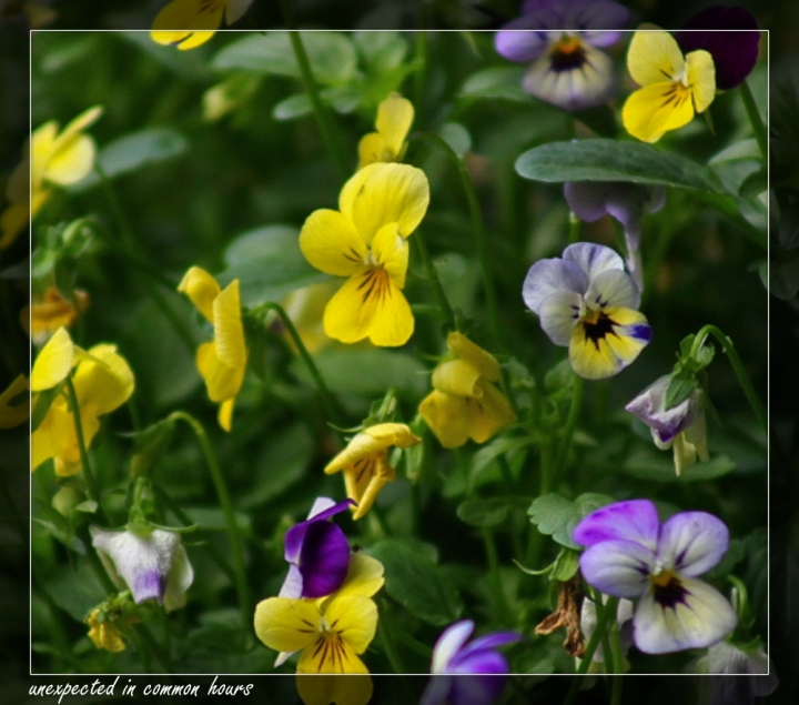 Pansies with border
