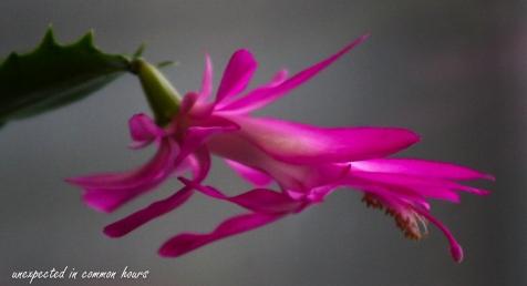 Christmas cactus 3