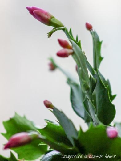 Christmas cactus 7