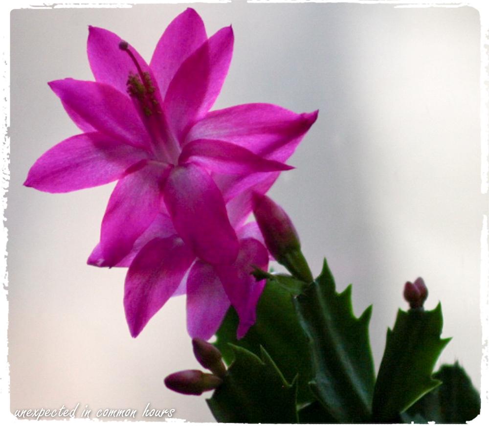 Christmas cactus with border