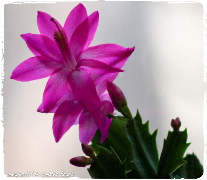 Christmas cactus with border