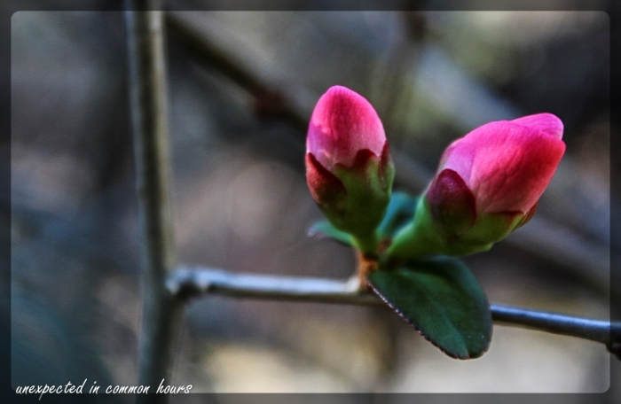 December-blooming quince