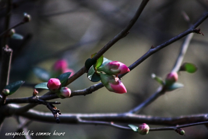 Flowering quince 1