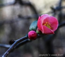 Flowering quince 3