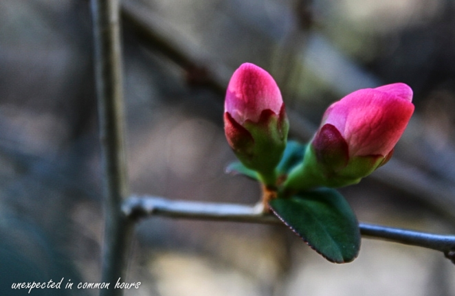Flowering quince 4