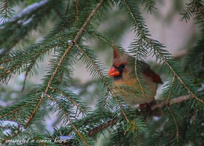 Female cardinal_