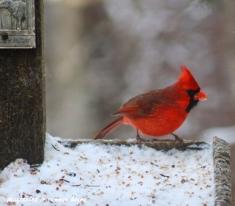 Male cardinal 2
