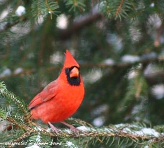 Male cardinal 3
