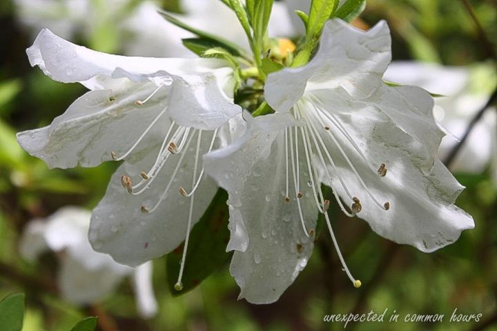 white azalea 1
