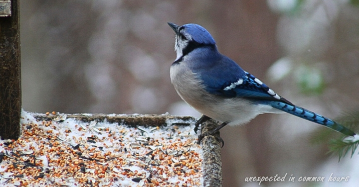 Blue Jay (1 of 1)