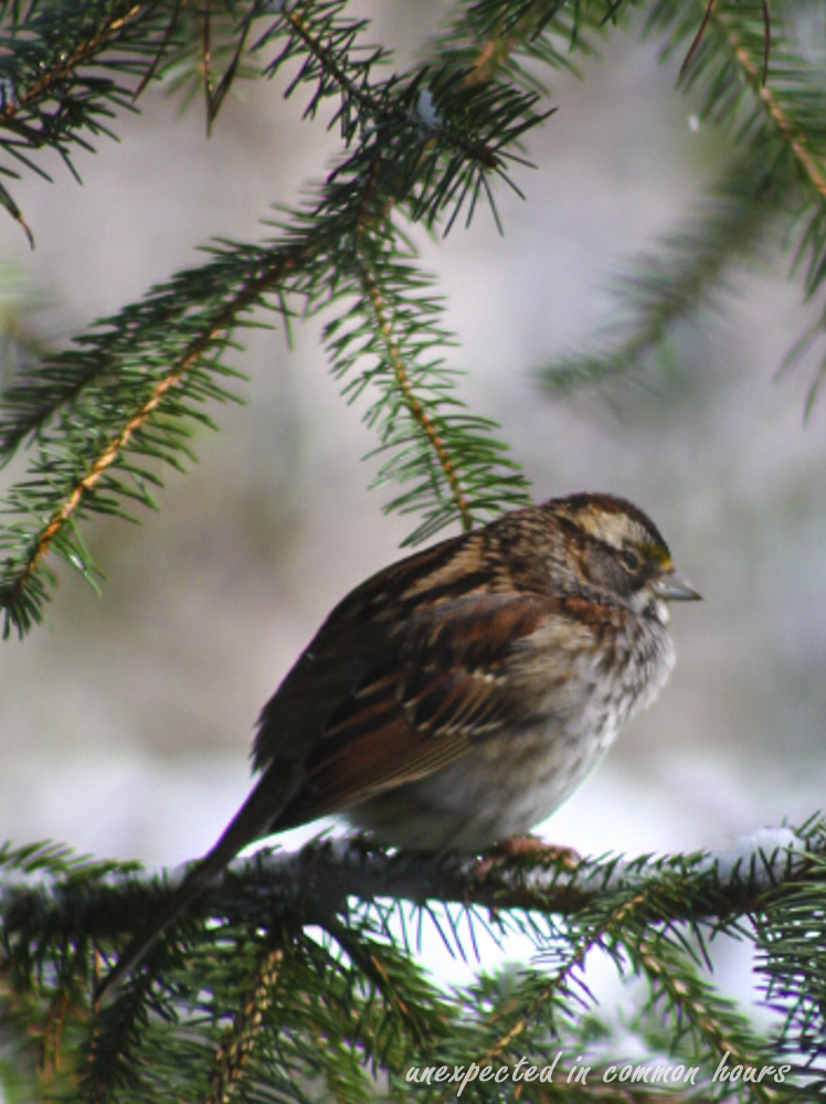 Fox sparrow 1 (1 of 1)