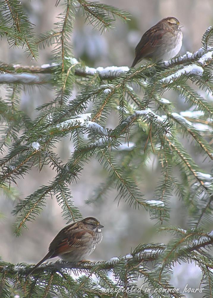 Fox sparrow 2 (1 of 1)