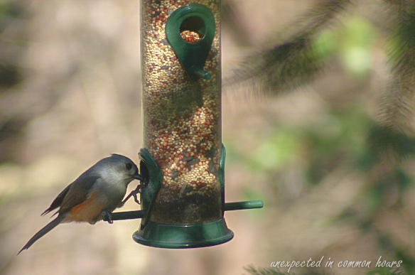 Tufted titmouse on bird feeder