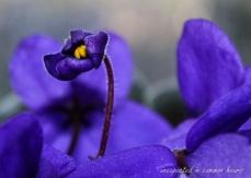 African violet 3