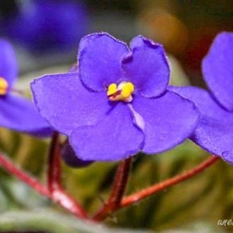 African violet 4