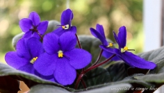 African violet 5