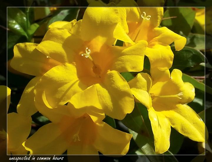 Carolina Yellow Jasmine 2