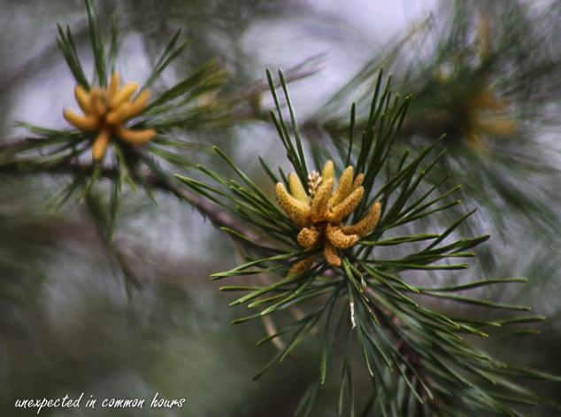 Pine 1
