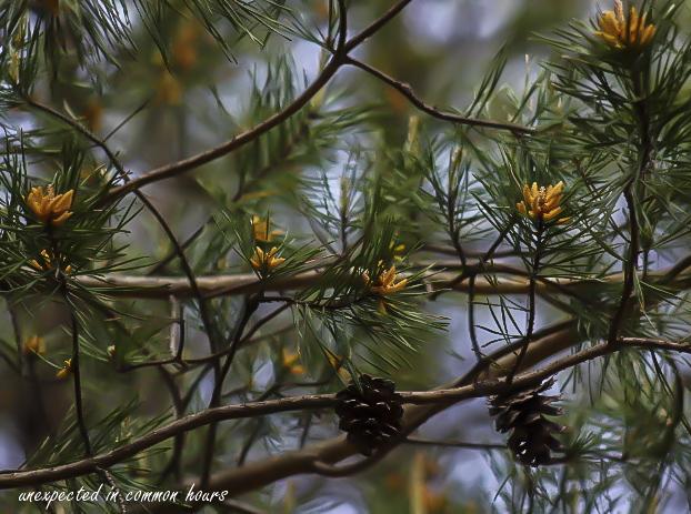Pine 2
