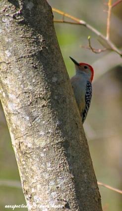 Red bellied woodpecker 3