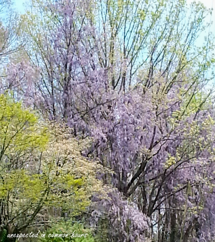 Wisteria in the trees 1