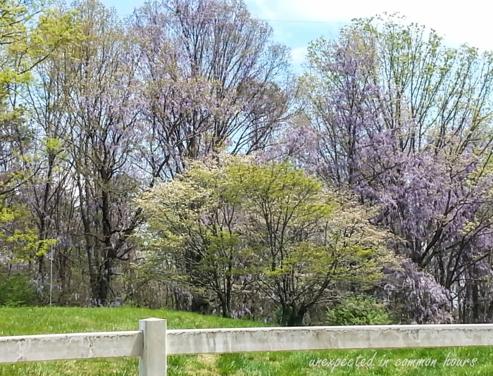 Wisteria in the trees 2