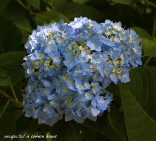 Blue Hydrangea 2