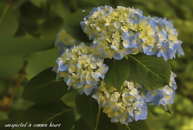 Blue Hydrangea 3
