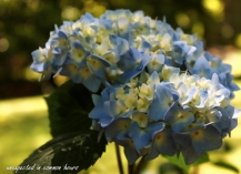 Blue Hydrangea 4