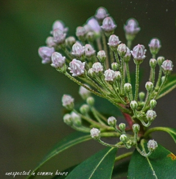 Budding Mountain Laurel
