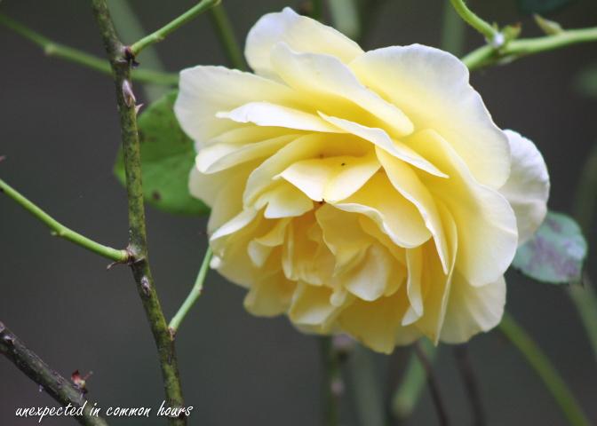 Yellow rose_