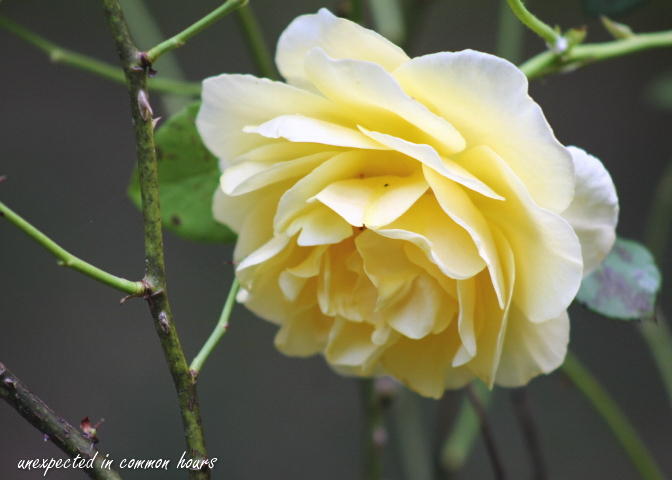 Yellow rose_