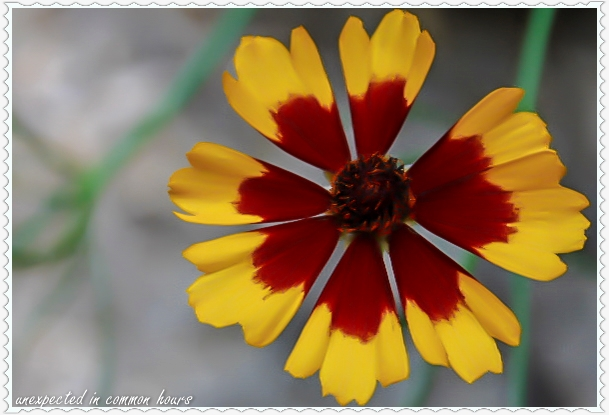 Coreopsis with border
