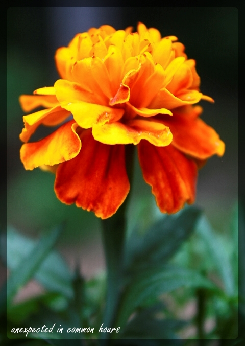 Marigold with border