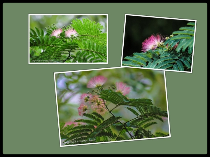 mimosa collage