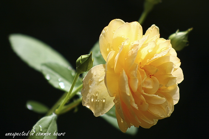 Roses after the rain 2