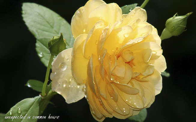 Roses after the rain 3